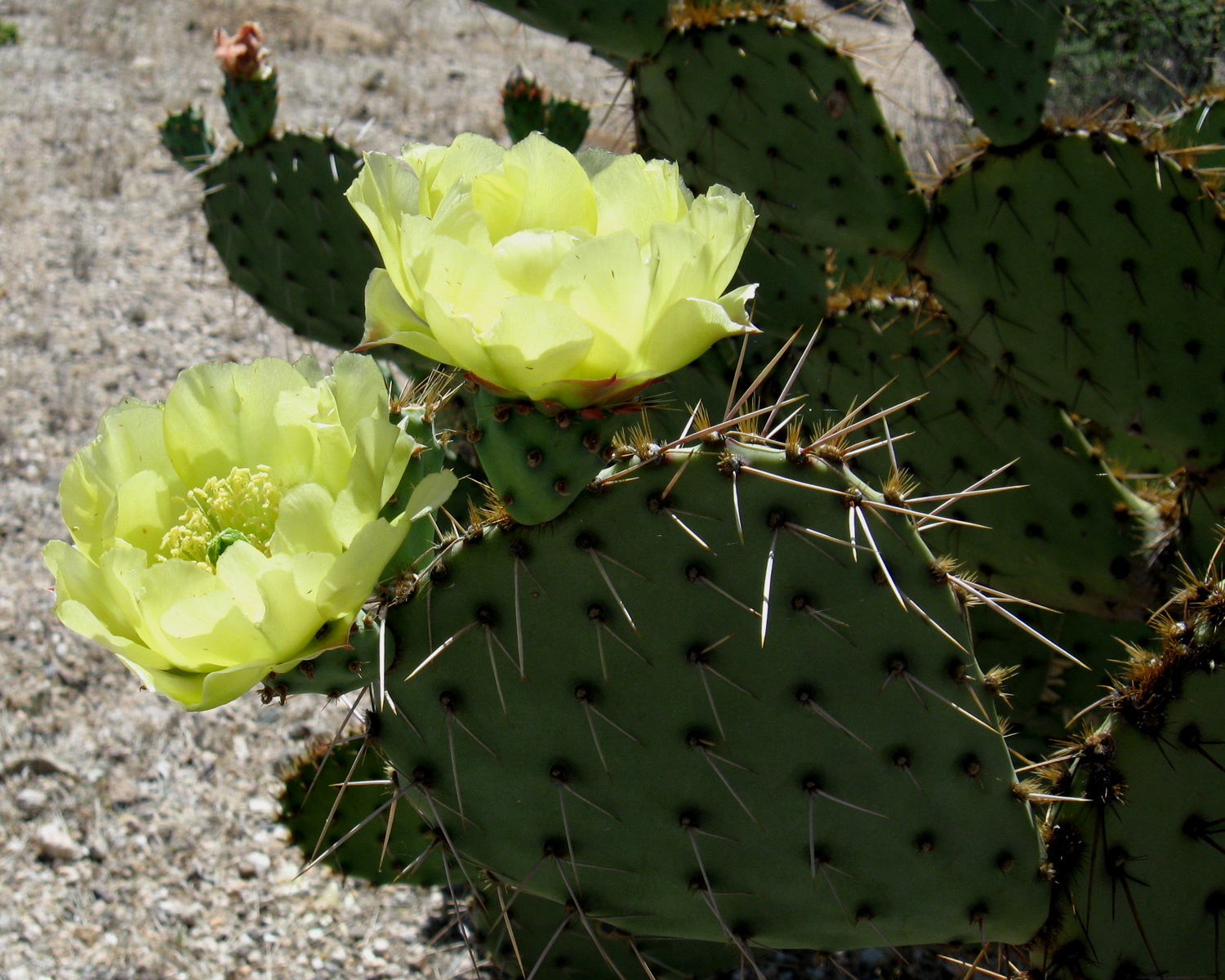 Prickly Pear Photo